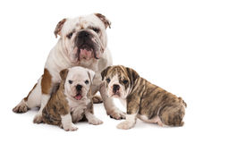Big and small dog. English bulldog father and  puppy on white background Stock Image