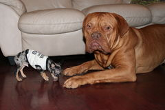Big and small dogs. Chihuahua and dogue de bordeaux on floor Stock Photography