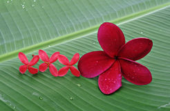 Big and small flower. Red Plumeria flower with some of small flowers on green leaf stock photos