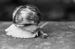 Big and small garden snail Stock Image