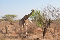 Big and small giraffe Stock Images