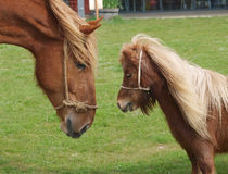 Big and Small Horse Royalty Free Stock Photo