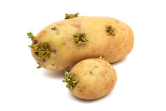 Big and Small Potatoes Germinate. Two germinating potatoes isolated on white background Stock Images