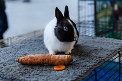 Big and small rabbits. Cute lovely animal exhibition royalty free stock image