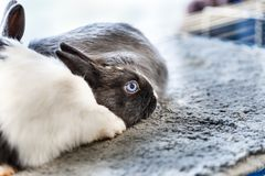 Big and small rabbits. Cute lovely animal exhibition Stock Photos