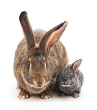 Big and small rabbits. Stock Photos