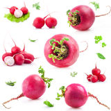 Big and small Red radish. Collections of Big and small Red radish.  on white background Royalty Free Stock Images