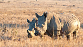 Big and small rhino. A young and adult Rhino grazing in the veld on an early morning Royalty Free Stock Image