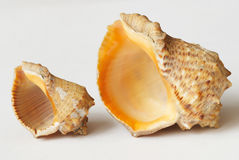 Big and small sea shell Royalty Free Stock Photo