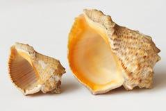 Big and small sea shell. Macro of Big and small sea shell Royalty Free Stock Photo