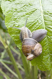 Big and small snail Stock Photos