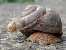 Big and small snail. Small snail climbed to a large snail Royalty Free Stock Images
