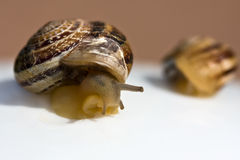 The big and small snails Royalty Free Stock Images