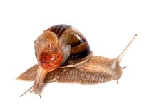 Big and small snails Stock Images
