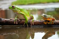 Big and Small Tree Frog. On the water and make reflection Royalty Free Stock Image