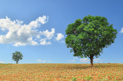 Big and small trees in the field with blue sky Stock Images