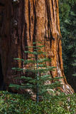 Big and Small Trees. Young Pine Sappling In Front Of Giant Sequoia Tree Trunk Royalty Free Stock Image