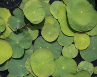 Big and small water lily leafs Stock Image