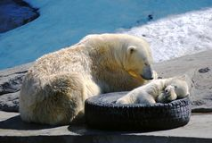 Big and small white polar bears sleeping. In the zoo Royalty Free Stock Photo