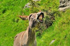 Big smile of donkey  Royalty Free Stock Images