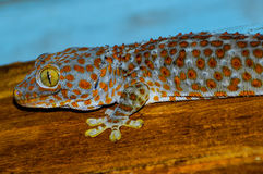 Big smiling Gecko. A Tokay / Tokeh / Tokee Gecko is climbing around the roof Royalty Free Stock Image