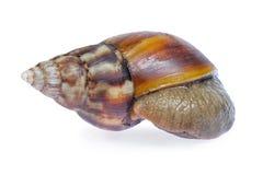 Big snail. Isolated on white background Stock Photo