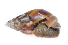 Big snail. Isolated on white background Royalty Free Stock Image