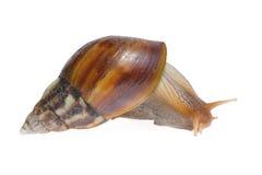 Big snail Stock Image