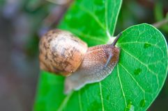 Big snail Royalty Free Stock Image