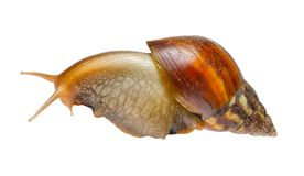 Big snail Stock Photos