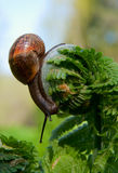 Big snail Royalty Free Stock Photo