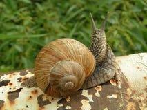 Big snail. Carpathian Mountains, Ukraine royalty free stock images