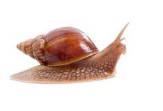 Big snail Royalty Free Stock Photos