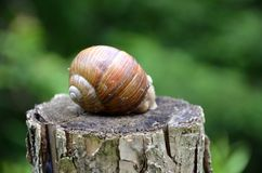 Big snail. In close view Stock Photo