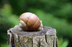 Big snail Stock Photo