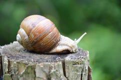 Big snail. In close view Stock Photos