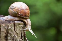 Big snail. In close view Royalty Free Stock Images