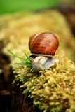Big Snail Stock Photos