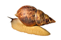 Big the snail Achatina fulica Stock Image