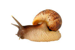 Big the snail Achatina fulica Royalty Free Stock Images