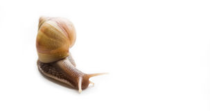 Big snail Achatina. Giant African snail, Achatina, on a white background Stock Image