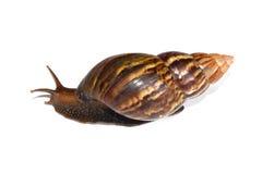 Big Snail Crawl isolate on white background Royalty Free Stock Image