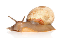 Big Snail crawling Royalty Free Stock Image
