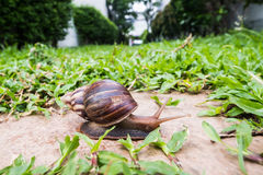 A big snail crawling on the rock in the green garden Royalty Free Stock Images