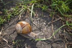 Big snail creeping on a ground Royalty Free Stock Images