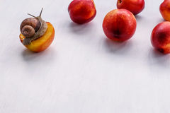 Big snail eating nectarine on a white background. Big snail eating nectarine on a background Royalty Free Stock Photo