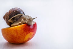 Big snail eating nectarine on a white background. Large brown snail eats red peaches on a white background Royalty Free Stock Photos