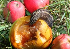 Big snail eats the apple in the Meadow Stock Images