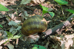 Big snail in the forest. Close-up of a big snail in the forest, sitting by a wood branch Stock Image