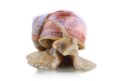 Big snail Stock Photography